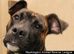 Bali is an 8-month-old male pit bull mix. Contact the Washington Animal Rescue League for more information about this cutie pie.