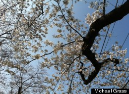 The cherry blossoms in the Kenwood subdivision in Bethesda, Md., were nearing peak bloom this past weekend.