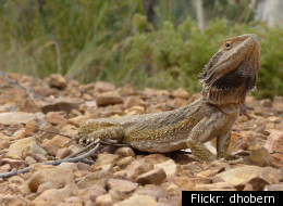 File photo of a bearded dragon.