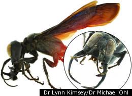 Dr Lynn Kimsey/Dr Michael Ohl