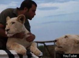 A man hugs and cuddles lions in his zebra truck in Africa