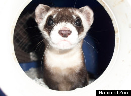 Rosebud, a black-footed ferret born April 15, 2011 at the Smithsonian Conservation Biology Institute in Front Royal, Va.