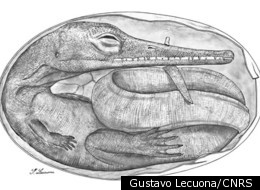 Reconstruction of the embryo from the Lower Permian mésosaure in Uruguay.