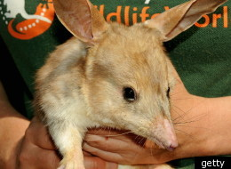 The bilby could replace the Easter bunny in Australia.