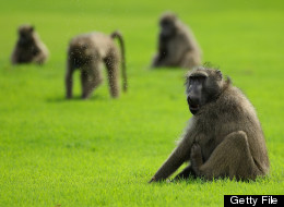 Baboons look on during the first round of the Alfred Dunhill Championships at Leopard Creek Golf Club on November 17, 2011 in Malelane, South Africa. (Photo by Warren Little/Getty Images)