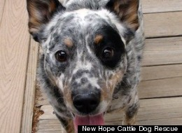 New Hope Cattle Dog Rescue