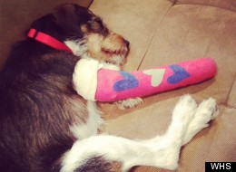 Hubert, a 2-year-old Jack Russell terrier mix, suffered a severe leg fracture and other abrasions after being hit by a car. He is now looking for a new home. Find out more from the Washington Humane Society.