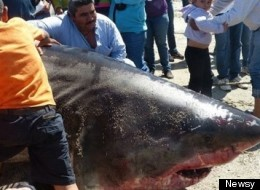 A 2,000-pound great white shark was caught this week in northwestern Mexico.