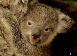 Un koala en Australie.