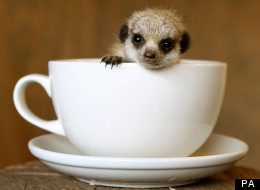 Tunnock is so small he fits in a teacup