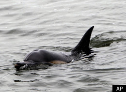 A dolphin swims in wetlands at the Bolsa Chica Ecological Reserve in Huntington Beach, Calif., Monday, Aug. 30, 2012. (AP Photo/Nick Ut)