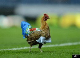 A chicken delays an English Premier League match between Wigan Athletic and Blackburn Rovers at Ewood Park Stadium, Blackburn, England, Monday May 7, 2011. (AP Photo/Jon Super)