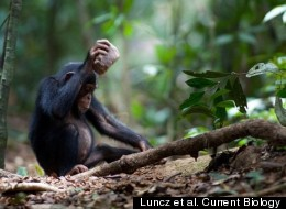 This young chimp is using a stone to crack open a coula nut.