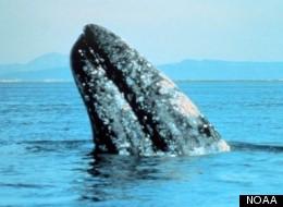 Gray whale breaching.