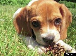 Craig Dershowitz, 34, considers Knuckles, his puggle (half-pug, half-beagle) puppy his