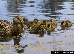 Good Samaritan saves eight ducklings who fell through a sewer grate.