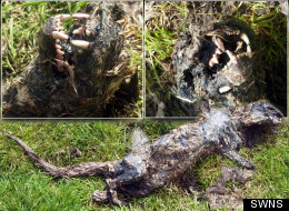 The 'big cat' corpse was found in Scotland