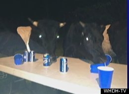 Police say a roving group of cows crashed a small gathering in Boxford, Massachusetts, and bullied the guests for their beer.
