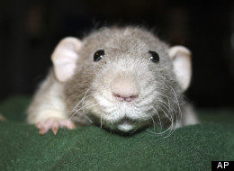 The German city of Hamelin may be in need of another Pied Piper – it seems the rats are back.