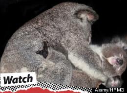 Male koalas' deep groans attract females.