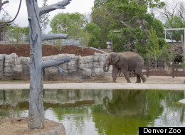 Denver Zoo elephant Bodhi takes a walk in the zoo's new Toyota Elephant Passage exhibit opening June 1, 2012.