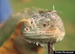 After five months apart, Ken Schmidt and his iguana,