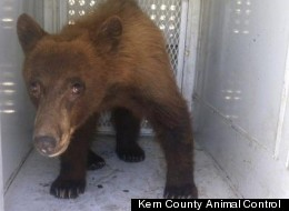 A young black bear wandered onto school property in Bakersfield, California, Thursday.