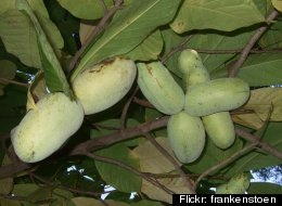 File photo. Pawpaws are a fruit tree native to Michigan and much of the eastern United States. (Flickr: frankenstoen)