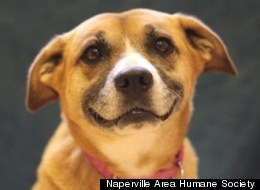 Ashley, up for adoption from the Naperville Area Humane Society, is smiling at the thought of a new, forever home.