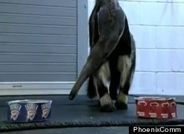 Annie the Anteater uses her psychic powers to predict the winner of the NBA finals.