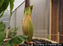 This giant corpse flower is set to bloom any second at Boston's Franklin Park Zoo. When it does, it will smell like rotting flesh.
