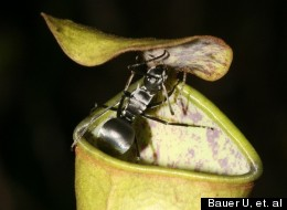 Pitcher Plants of the species Nepenthes gracilis have a specially-evolved waxy lid that captures flies whens struck by raindrops.