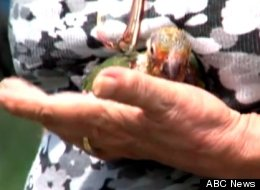 Sandra Kortz, 69, lost $150,000 worth of parrots in her backyard to thieves, ABC News reports.