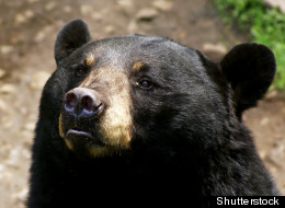 American black bears can count and compare quantities, researchers say.