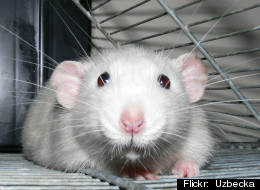 Rats laugh when tickled--just like humans.