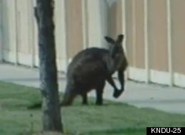 This kangaroo was spotted several times making its way down a highway in Washington.