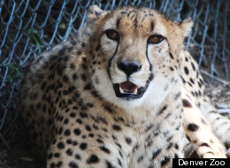 The Denver Zoo's new twin cheetahs Marvin And Mojo.