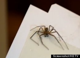 One of 40 venomous brown recluse spiders Dylan Baumann has caught so far.