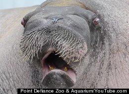 Point Defiance Zoo & Aquarium/YouTube.com