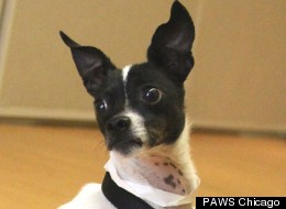Corky is a very special 6-year-old Chihuahua mix who would love nothing more than to come home with you.