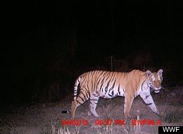 A Bengal tiger photographed by a WWF camera trap near Bardia National Park in Nepal.