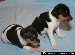 A healthy Brazilian Terrier puppy (right) and a puppy affected by a severe skeletal disorder that makes standing and walking impossible.