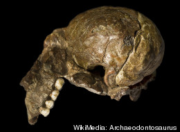 A natural endocranial cast of Australopithecus africanus.