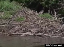 This photo shows a beaver lodge on the Delaware River located near where a rabid beaver attacked 51-year-old Normand Brousseau.