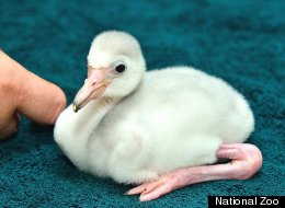 The National Zoo's new baby flamingo was born on July 29