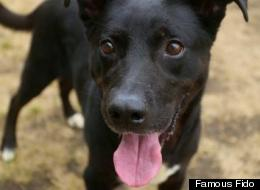 Splash, a 5-year-old Lab mix, is looking for foster or adoptive parents.