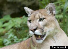 A cougar was shot dead in Kelowna after it was found in a tree in a residential neighbourhood. (Shutterstock)