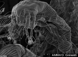 A scanning electron micrograph image of a modern gall mite that's found on silver maple leaves.