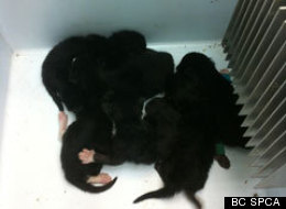 Six newborn kittens were found in a cooler sitting on a sunny street in Surrey, B.C. (BC SPCA)