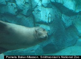 A sea lion that is part of the National Zoo's new American Trail exhibit, opening Sept. 1